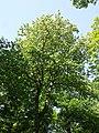 Sorbus torminalis sl22.jpg