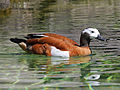 South African Shelduck RWD3.jpg
