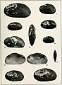 South American Naiades - a contribution to the knowledge of the freshwater mussels of South America (1921) (14592117630).jpg