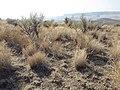 South of Marsing sagebrush steppe (MacBride Creek Road) (9674218389).jpg