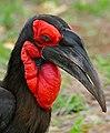 Southern Ground Hornbill (Bucorvus leadbeateri) male (33419917986).jpg