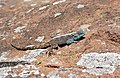 Southern Rock Agama (Agama atra) male (32354496010).jpg