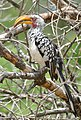 Southern Yellow-billed Hornbill (Tockus leucomelas) (46061771954).jpg