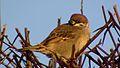 Sparrow sitting.jpg