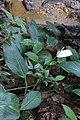 Spathiphyllum cannifolium (Araceae) (29304437414).jpg