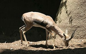 Speke's gazelle - At the San Diego Zoo