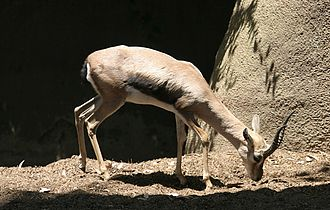 Captive breeding - The Speke's Gazelle was the focus of a captive breeding program centered on determining the effect of selection on reducing genetic load.
