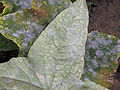 Sphaerotheca fusca on Cucumber backside leave.jpg