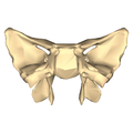 Sphenoid bone - close-up - posterior view.png