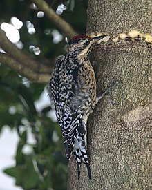 Yellow-bellied Sapsucker girdling a holly tree