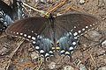Spicebush Swallowtail - Papilio troilus, Richard G Thompson Wildlife Management Area, Linden, Virginia.jpg