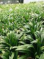Spider Lily (Hymenocallis speciosa) 2.jpg