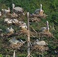 Spot-billed Pelican (Pelecanus philippensis) at nest with chicks in Uppalpadu W IMG 2857.jpg