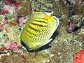 Spot Banded Butterflyfish, Bunaken Island.jpg