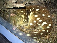 Spotted-tail quoll sleeping at Sydney Wildlife World.jpg