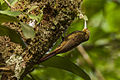Spotted Woodcreeper - Panama H8O7732 (16135588323).jpg