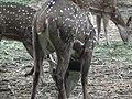 Spotted deer from Bannerghatta National Park 8665.JPG