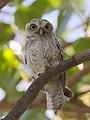 Spotted owlet juvenile.jpg