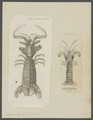 Squilla mantis - - Print - Iconographia Zoologica - Special Collections University of Amsterdam - UBAINV0274 097 13 0004.tif