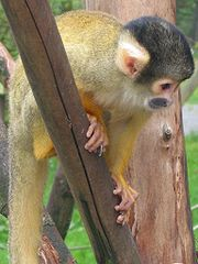 O macaco é um reservatório do vírus. Macaco do gênero Samiri