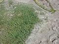 Starr-011104-0024-Cynodon dactylon-habit on sand-Kalepolepo-Maui (24543210635).jpg