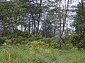 Starr-011205-0123-Bocconia frutescens-habit under Falcataria moluccanna-Wood Valley-Hawaii (24435676342).jpg