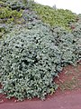 Starr-020225-0009-Euphorbia celastroides var stokesii-habit-Kilauea lighthouse-Kauai (24438557272).jpg