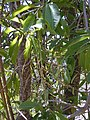 Starr-030222-0085-Charpentiera obovata-flowers-Auwahi-Maui (24252285779).jpg