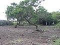Starr-040123-0008-Schinus terebinthifolius-trimmed up-Kanaha Beach-Maui (24579481902).jpg