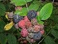 Starr-051123-5479-Rubus niveus-form a fruit-Haleakala Ranch-Maui (24482131799).jpg