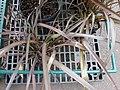 Starr-070906-8346-Phormium tenax-in pots-Kula Ace Hardware and Nursery-Maui (24523507619).jpg