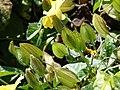 Starr-080219-2904-Thunbergia alata-calyx-Enchanting Floral Gardens of Kula-Maui (24276542924).jpg