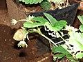 Starr-080731-9558-Fragaria x ananassa-fruit-makawao-Maui (24805388092).jpg
