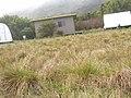 Starr-090413-9096-Anthoxanthum odoratum-habit-East Maui-Maui (24858456131).jpg