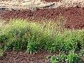 Starr-090426-6311-Brassica nigra-flowering habit-Aapuea Pkwy Kulamalu Kula-Maui (24584833959).jpg
