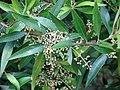 Starr-090430-6735-Olea europaea subsp cuspidata-flowers and leaves-Kula-Maui (24926947076).jpg
