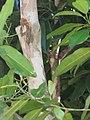 Starr-090610-0475-Pimenta dioica-bark-Haiku-Maui (24937335256).jpg