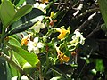 Starr-090721-3272-Fagraea berteroana-flowers-Wailuku-Maui (24944185726).jpg