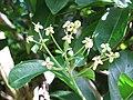 Starr-091104-0675-Terminalia megalocarpa-flowers and leaves-Kahanu Gardens NTBG Kaeleku Hana-Maui (24869461042).jpg