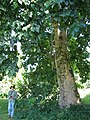 Starr-091104-0803-Gmelina arborea-habit with Forest-Kahanu Gardens NTBG Kaeleku Hana-Maui (24987627385).jpg