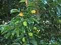 Starr-091104-0825-Artocarpus lingnanensis-fruit and leaves-Kahanu Gardens NTBG Kaeleku Hana-Maui (24987666635).jpg