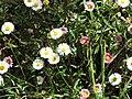Starr-100603-6874-Erigeron karvinskianus-flowers-Polipoli-Maui (24921798562).jpg