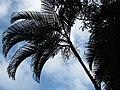 Starr-110330-3644-Chrysalidocarpus lutescens-habit-Garden of Eden Keanae-Maui (25054221696).jpg