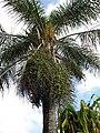 Starr-110330-3659-Syagrus romanzoffiana-habit-Garden of Eden Keanae-Maui (24453725183).jpg
