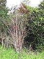 Starr-110331-4565-Prunus cerasifera-habit-Shibuya Farm Kula-Maui (25081922145).jpg