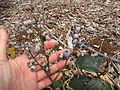 Starr-110621-6272-Vaccinium hybrid-Southern highbush cv Misty fruit-Hawea Pl Olinda-Maui (24466595214).jpg