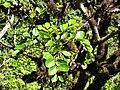 Starr-110929-0097-Polyscias oahuensis-leaves-Hanaula-Maui (24485116864).jpg