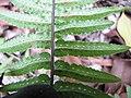 Starr-120229-3036-Doodia kunthiana-underside leaf with sori-Waikapu Valley-Maui (24505732394).jpg