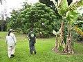 Starr-120606-6844-Musa x paradisiaca-Maoli Maia Koae or Manini variegated habit with Kim and Ian-Kahanu Garden NTBG Hana-Maui (24848730940).jpg