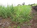 Starr-120620-7452-Cenchrus purpureus-green bana grass biofuel trials-Kula Agriculture Station-Maui (24515037214).jpg
